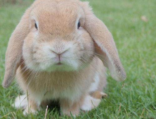 ¿Qué debe comer un conejo?
