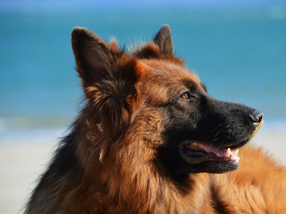 ¿Qué es la leishmaniosis y cómo puedo proteger a mi perro?